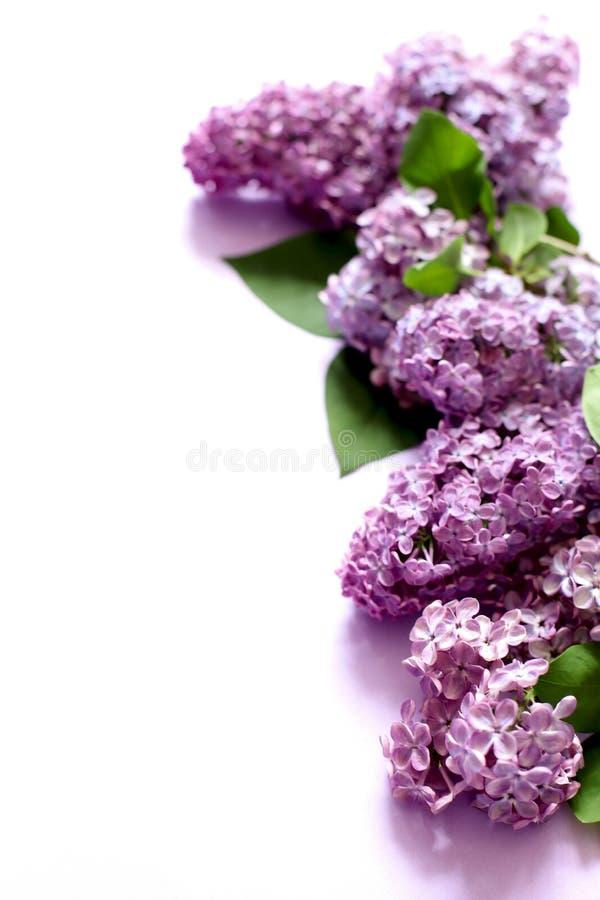 Ιώδη λουλούδια στο άσπρο υπόβαθρο στοκ φωτογραφίες με δικαίωμα ελεύθερης χρήσης