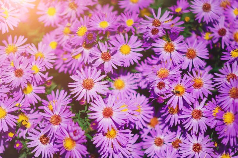 ιώδη λουλούδια φθινοπώρου όμορφος φυσικός ανασκόπησης στοκ εικόνα