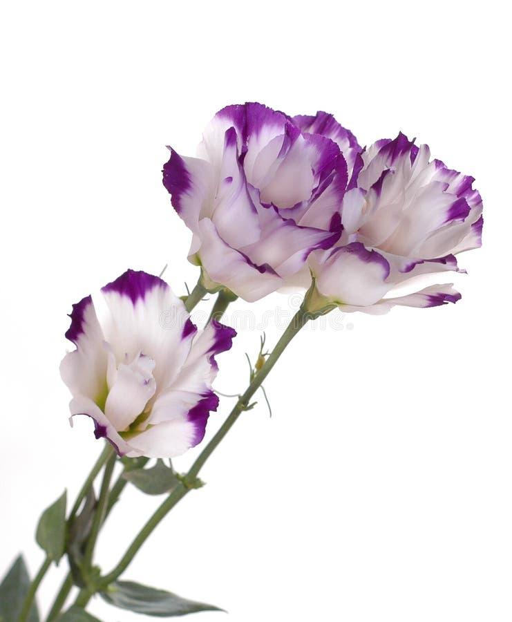 ιώδη πέταλα τρία λουλου&delta στοκ φωτογραφία