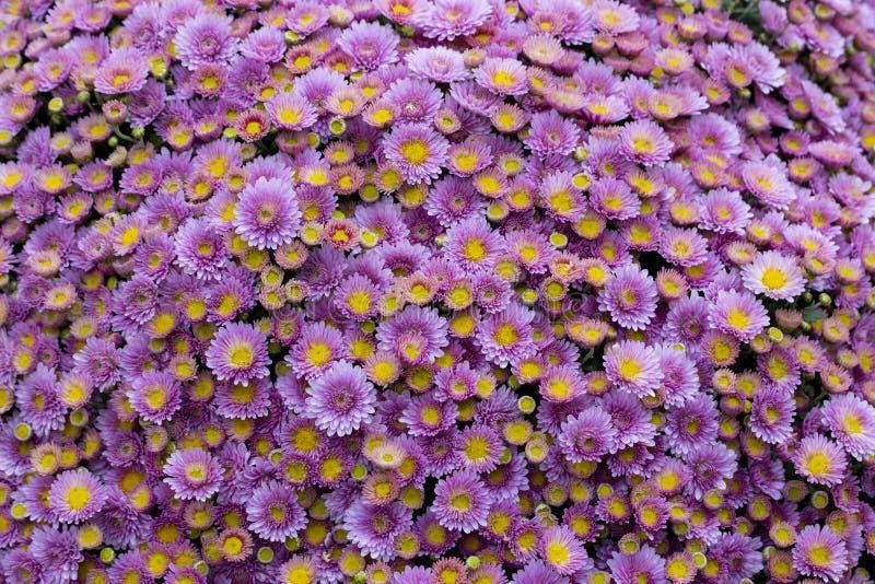 Ιώδη πορφυρά λουλούδια, ανθοδέσμη, ο μεγάλος Μπους των χρυσάνθεμων των μαργαριτών Πορφυρό χρυσάνθεμο υπαίθριο στοκ εικόνες