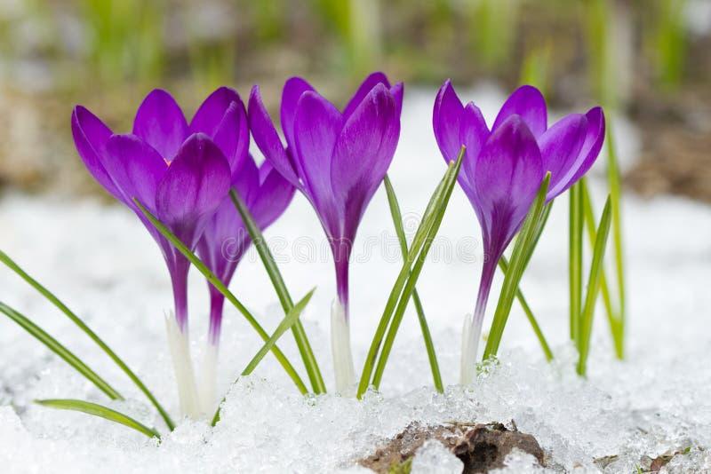Ιώδεις κρόκοι το χειμώνα στοκ εικόνες