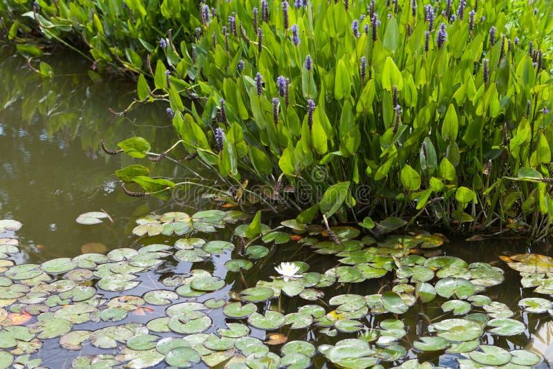Ιώδες μπλε Pontederia στοκ εικόνες