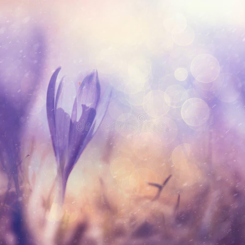 Ιώδες λουλούδι κρόκων άνοιξη χρώματος βροχερό θολωμένο στοκ φωτογραφία