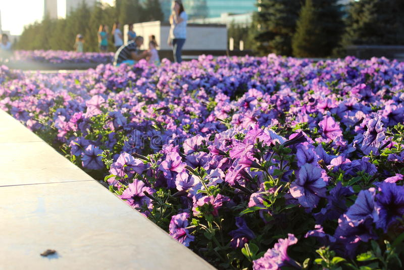Ιώδες λουλούδι στον ήλιο στοκ φωτογραφία