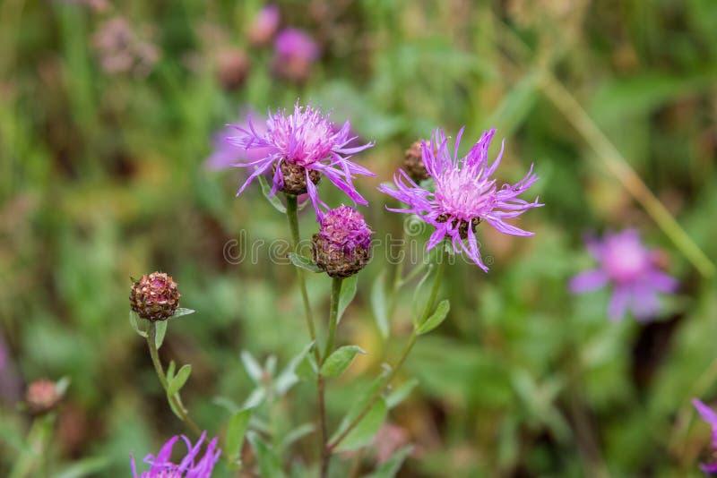 Ιώδες λουλούδι του άγριου κάρδου (carduus) στοκ εικόνα