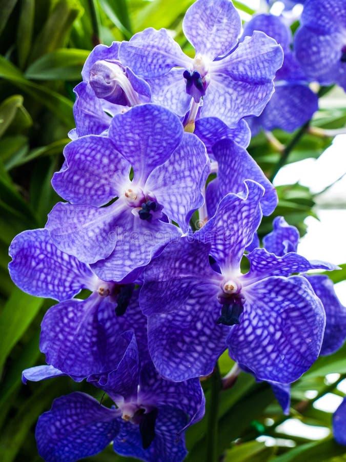 Ιώδες υβριδικό λουλούδι της Vanda στη φύση στοκ φωτογραφίες