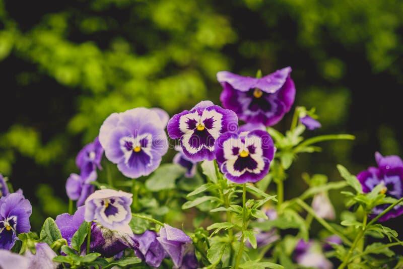Ιώδες pansy λουλούδι στοκ εικόνες
