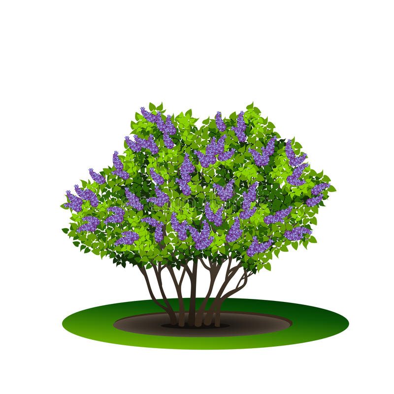 Ιώδης θάμνος με τα πράσινα φύλλα και τα λουλούδια απεικόνιση αποθεμάτων