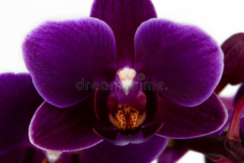 Ιώδης κινηματογράφηση σε πρώτο πλάνο λουλουδιών ορχιδεών Phalaenopsis που απομονώνεται στοκ εικόνες
