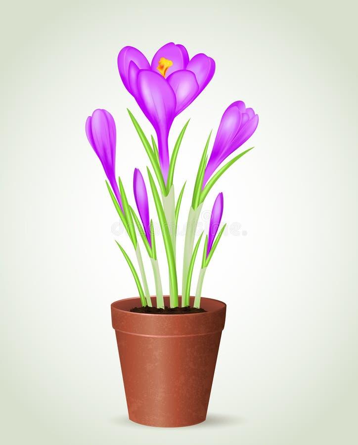 Ιώδης κρόκος στο δοχείο λουλουδιών διανυσματική απεικόνιση