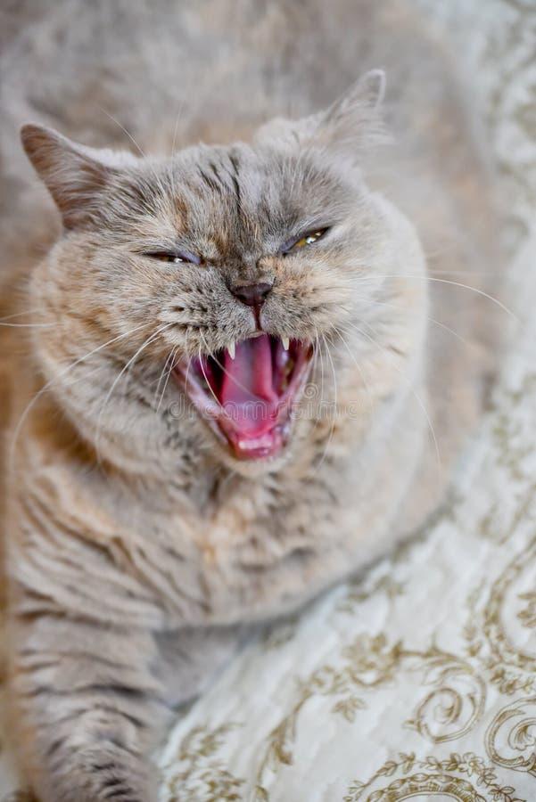 Ιώδη βρετανικά ανοικτά σαγόνια γατών στοκ φωτογραφίες