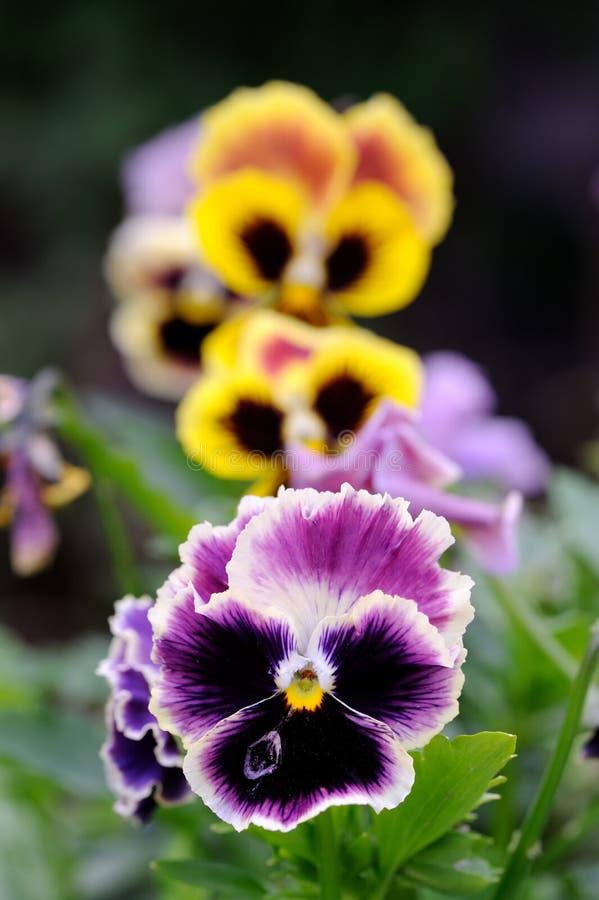Ιώδη λουλούδια Pansy στο κρεβάτι λουλουδιών στοκ φωτογραφίες με δικαίωμα ελεύθερης χρήσης