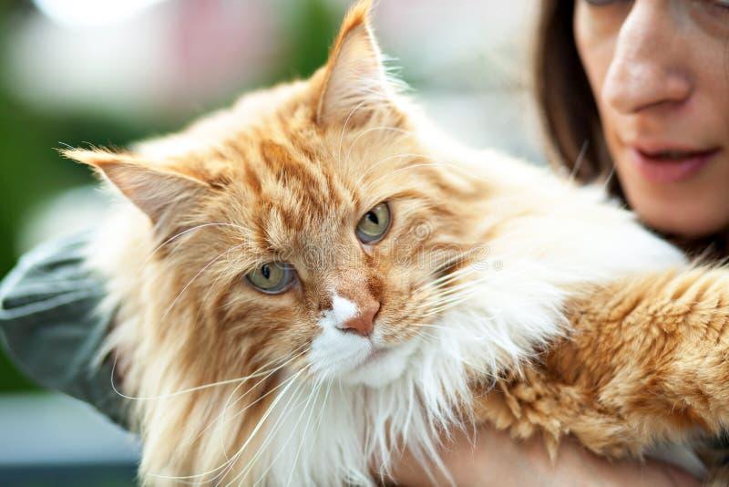 Ιδιοκτήτης γατών του Μαίην Coon στοκ εικόνα με δικαίωμα ελεύθερης χρήσης