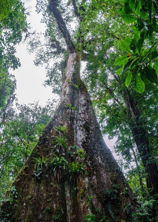 Κάθετη άποψη του τεράστιου δέντρου στο δάσος στοκ εικόνες