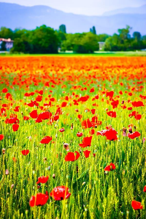 Κάθετη άποψη των λουλουδιών παπαρουνών σε έναν τομέα σίτου στοκ εικόνες