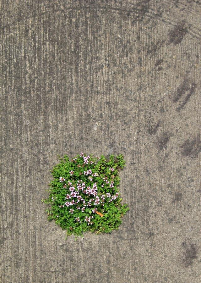 Κάθετη εικόνα του σημειωμένου υποβάθρου τσιμέντου με τη μάζα λουλουδιών που μεγαλώνει μέσω του ανοίγματος στοκ εικόνες με δικαίωμα ελεύθερης χρήσης
