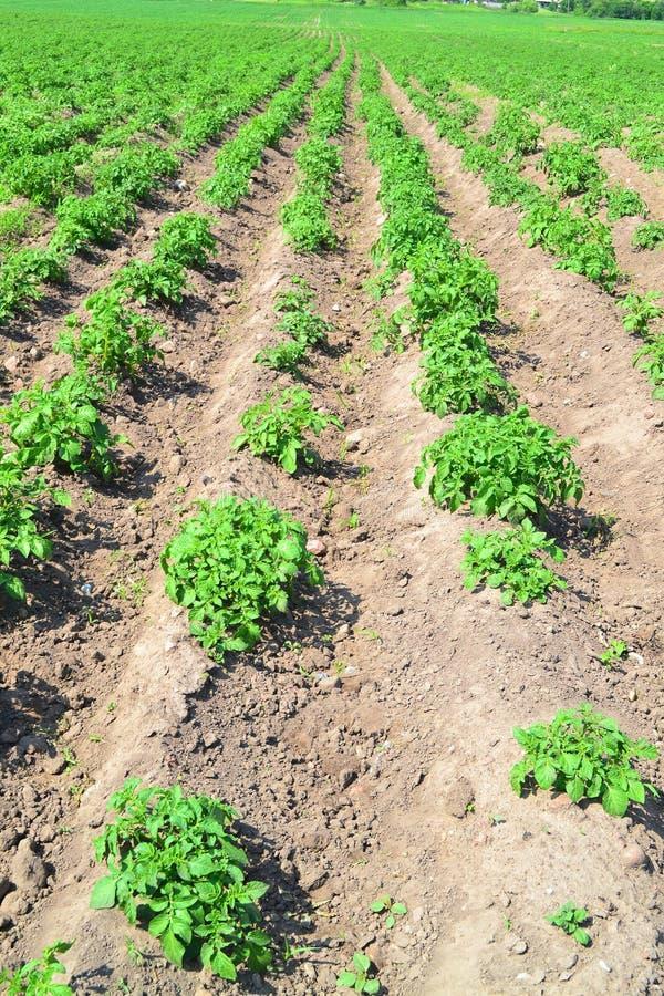 Κάθετη φωτογραφία της πράσινης ανώτατης άποψης τομέων πατατών των θάμνων και το έδαφος της γεωργίας στοκ φωτογραφία με δικαίωμα ελεύθερης χρήσης