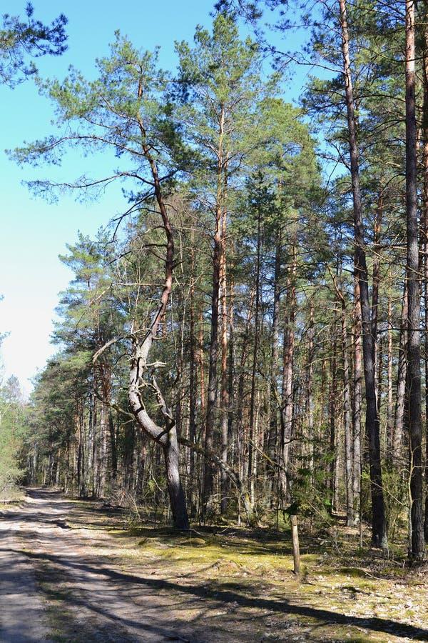 Κάθετη φωτογραφία του άγριου δάσους πεύκων με το δρόμο, ρωσική φύση στοκ φωτογραφία
