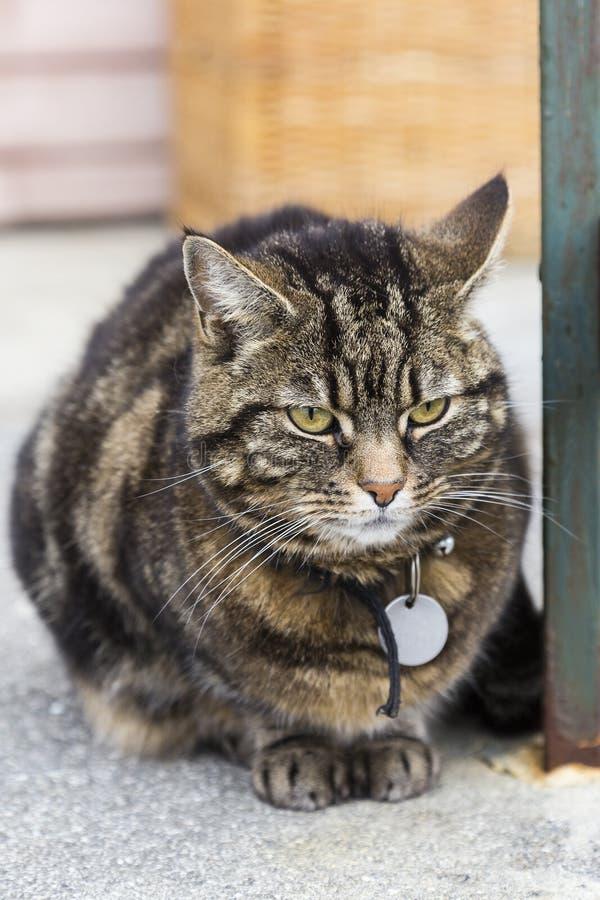 Κάθετη φωτογραφία του παχύσαρκου γκρινιάρικου ξαπλώματος γατών τιγρών στοκ φωτογραφίες με δικαίωμα ελεύθερης χρήσης