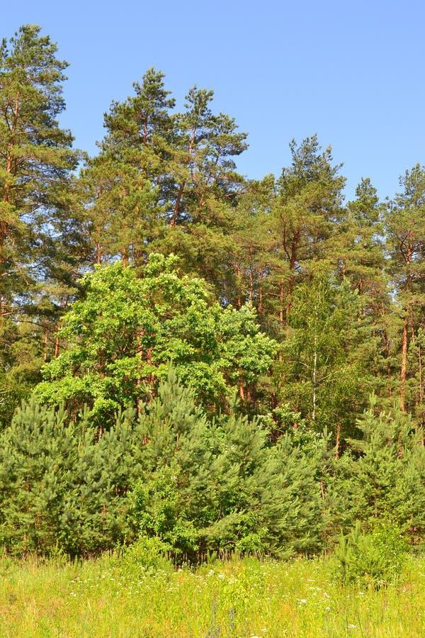 Κάθετη φωτογραφία των εγκαταστάσεων τομέων στη δασική άκρη, φωτεινή θερινή ημέρα στη Λευκορωσία στοκ φωτογραφίες