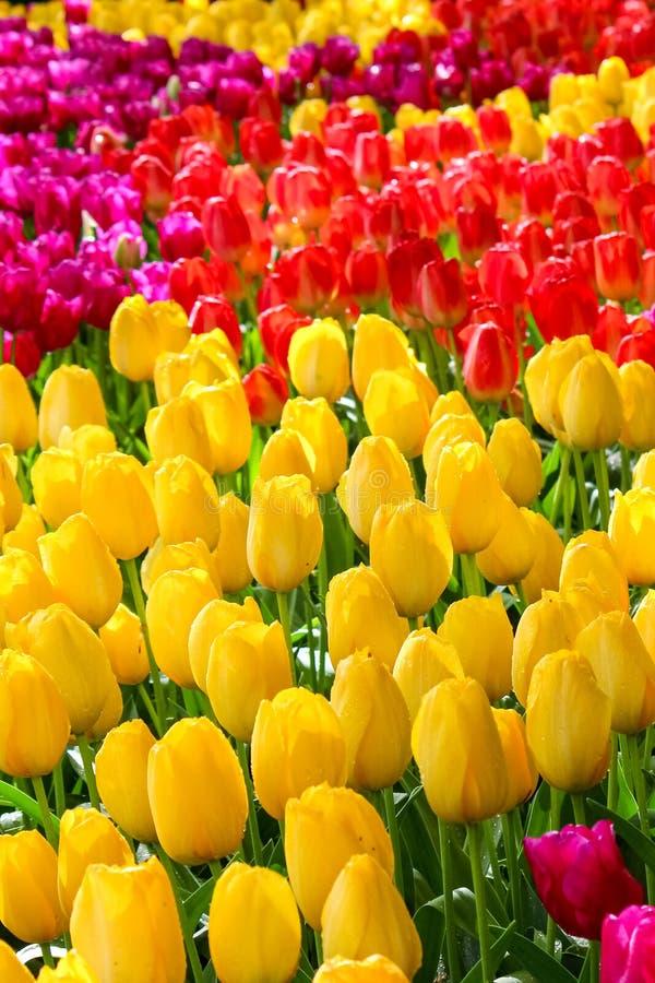 Κάθετη φωτογραφία των ζωηρόχρωμων λουλουδιών τουλιπών Οι τουλίπες είναι κίτρινες, κόκκινες και πορφυρές r Ανθίζοντας πάρκο, έννοι στοκ εικόνα