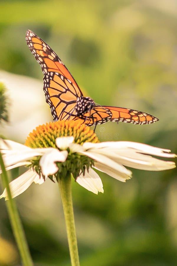 Κάθετο πορτρέτο μιας πεταλούδας μοναρχών με τα ανοικτά φτερά στοκ εικόνα με δικαίωμα ελεύθερης χρήσης