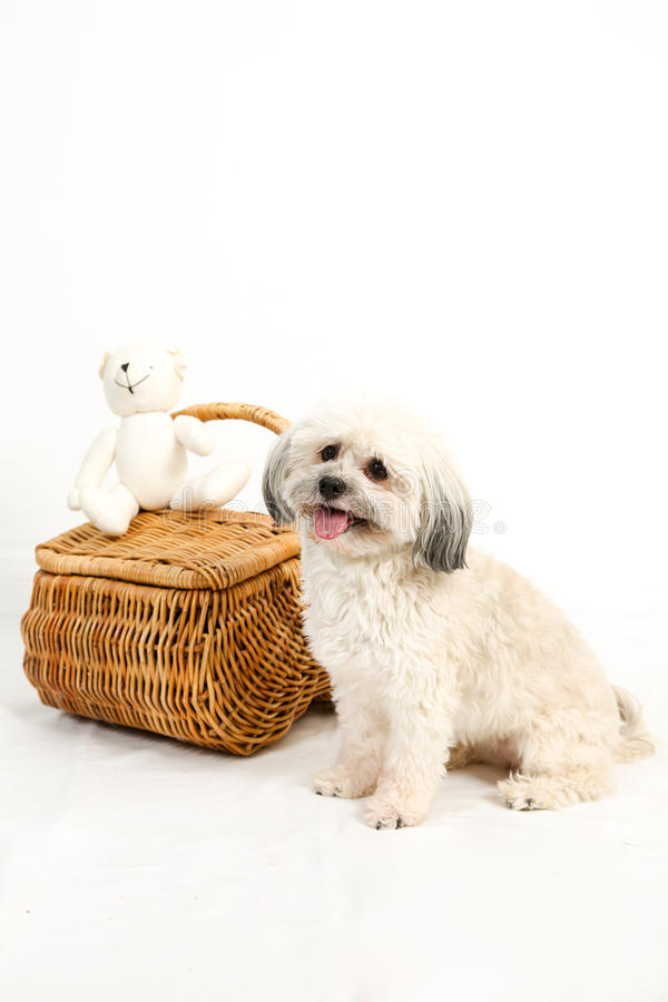 Κάθετο σκυλί Havanese με το ψάθινο καλάθι στοκ εικόνες