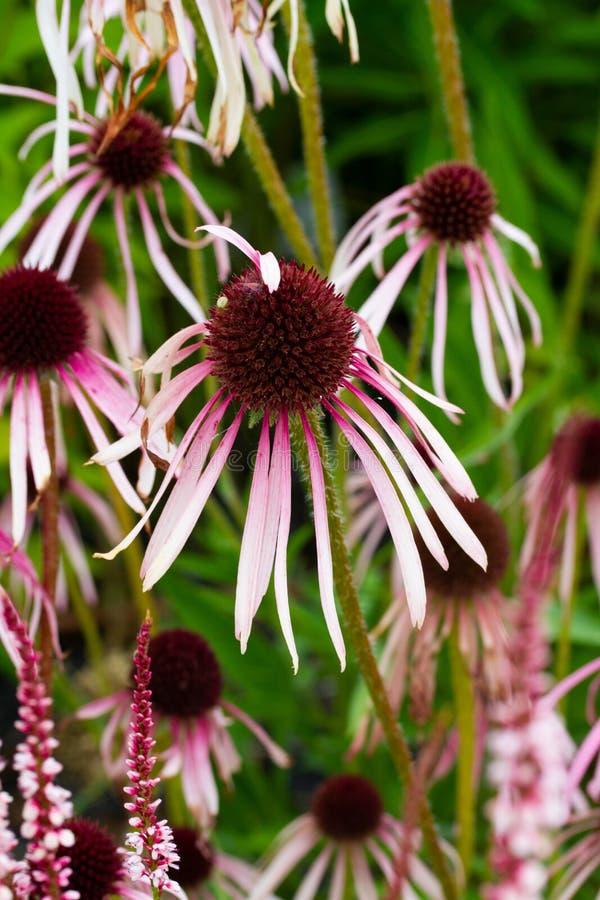Κάθετο υπόβαθρο των λουλουδιών echinacea στοκ εικόνα με δικαίωμα ελεύθερης χρήσης