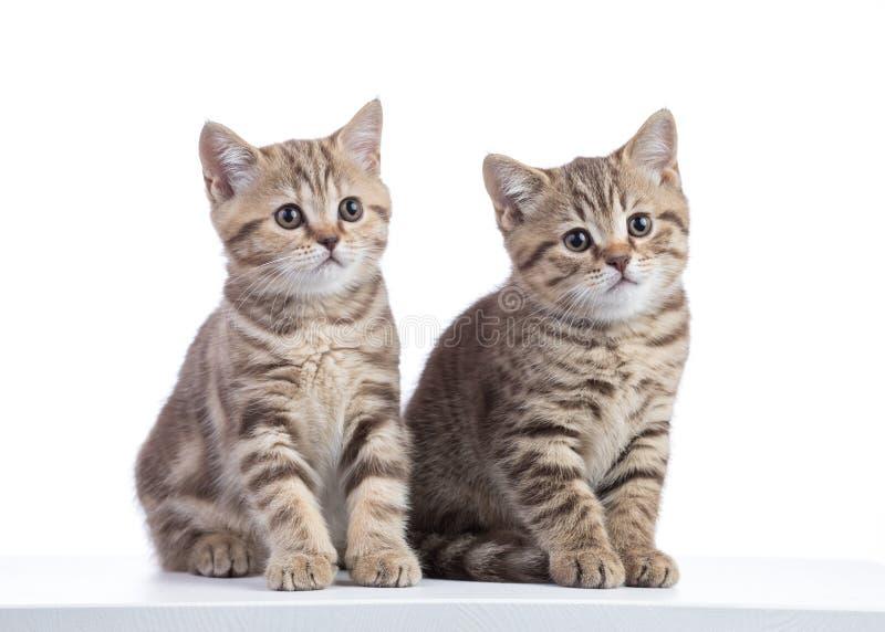 Κάθισμα δύο γατών γατακιών που απομονώνεται στο λευκό στοκ εικόνα