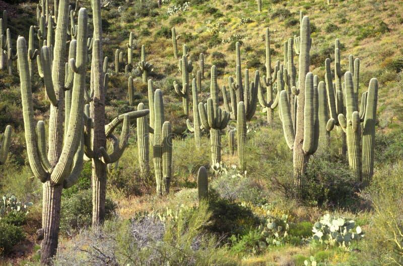 Κάκτοι Saguaro στο εθνικό μνημείο Saguaro, Tucson, AZ στοκ εικόνες με δικαίωμα ελεύθερης χρήσης