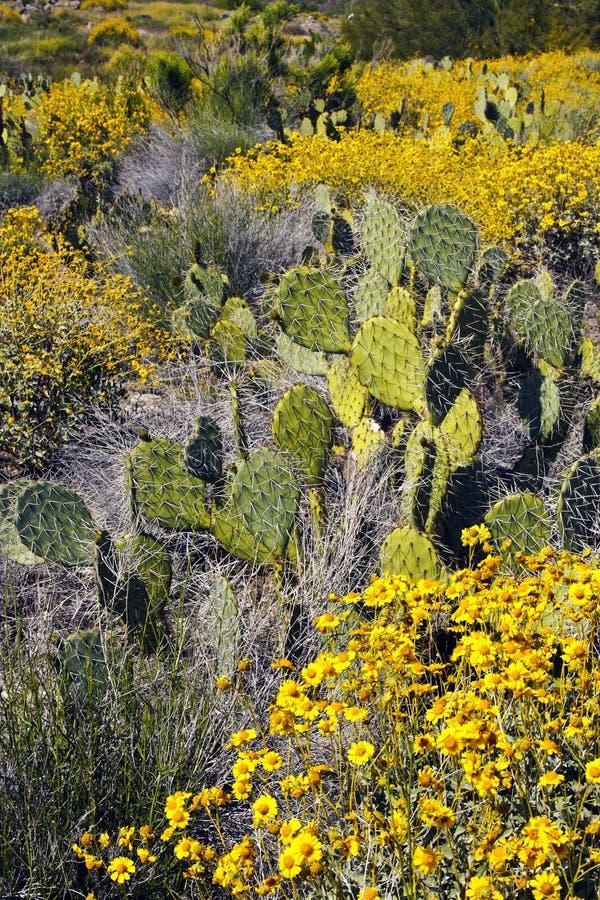 Κάκτος και Wildflowers ερήμων της Αριζόνα στοκ φωτογραφίες με δικαίωμα ελεύθερης χρήσης