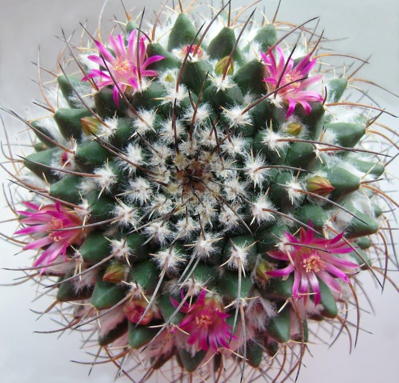 Κάκτος με τα ρόδινα λουλούδια. στοκ φωτογραφία με δικαίωμα ελεύθερης χρήσης
