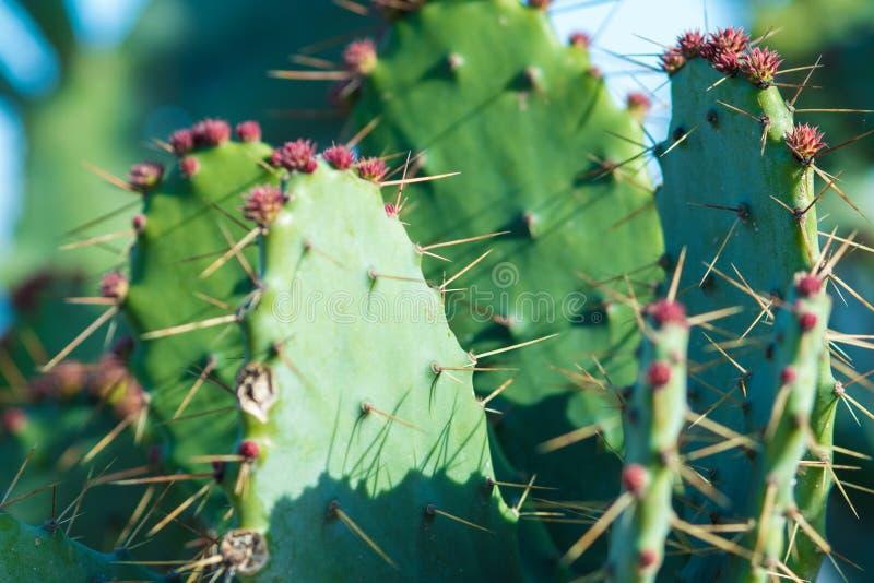 Κάκτος στον κήπο με τα λουλούδια και τα αγκάθια στοκ φωτογραφία με δικαίωμα ελεύθερης χρήσης