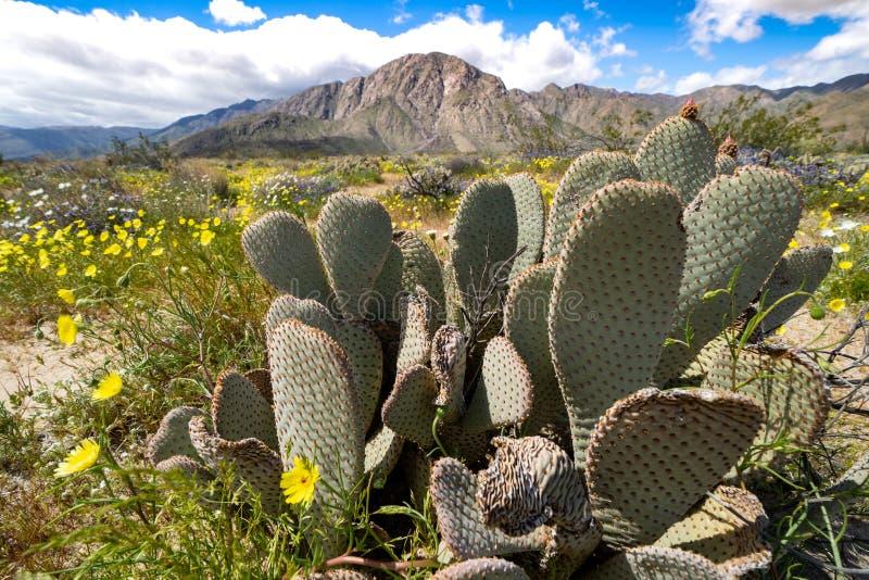 Κάκτος τραχιών αχλαδιών σε έναν τομέα των κίτρινων wildflowers στο κρατικό πάρκο ερήμων Anza Borrego σε Καλιφόρνια κατά τη διάρκε στοκ εικόνες