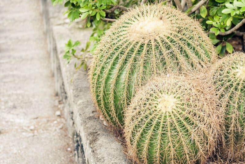 Κάκτος Grusonii Echinocactus, επίσης γνωστός ως χρυσό βαρέλι στον κήπο Acicastello, Acitrezza, Κατάνια, Σικελία στοκ εικόνα με δικαίωμα ελεύθερης χρήσης
