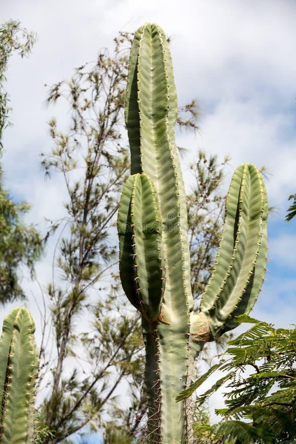 Κάκτος Pachycereus σε Fuerteventura στοκ φωτογραφίες