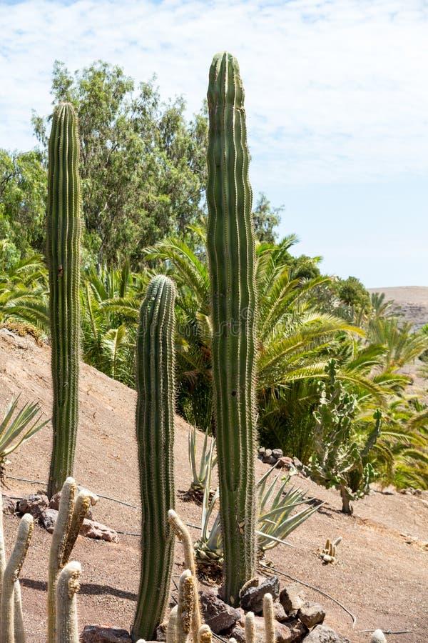 Κάκτος Pachycereus σε Fuerteventura, στοκ εικόνες