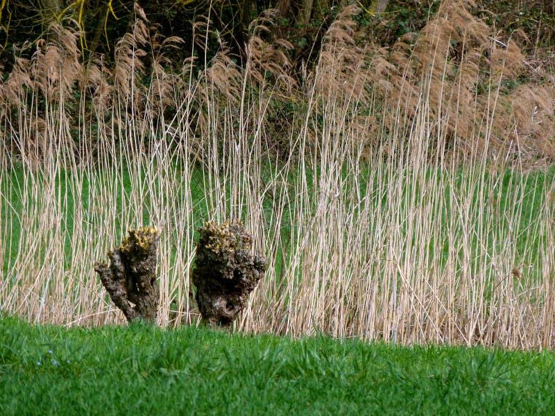 Κάλαμοι και δέντρα ιτιών στην άκρη του λιβαδιού στοκ εικόνες