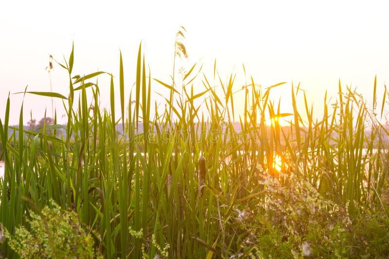 Κάλαμοι κοντά σε έναν ποταμό στον ήλιο στο ηλιοβασίλεμα στοκ φωτογραφία