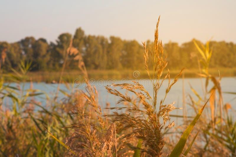 Κάλαμοι κοντά σε έναν ποταμό στον ήλιο στο ηλιοβασίλεμα στοκ εικόνες