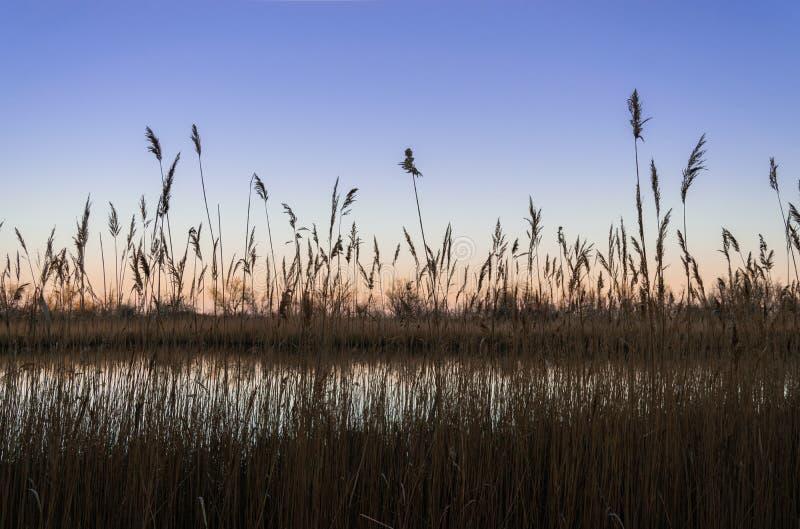 Κάλαμοι κοντά στη λίμνη στοκ φωτογραφία με δικαίωμα ελεύθερης χρήσης