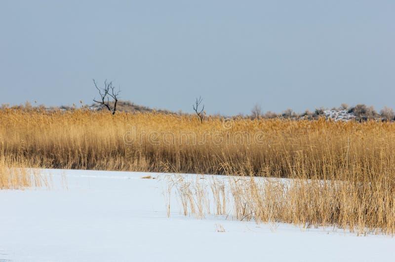 Κάλαμοι σε μια παγωμένη λίμνη, η στέπα ο ποταμός ή Καζακστάν Kap στοκ φωτογραφίες