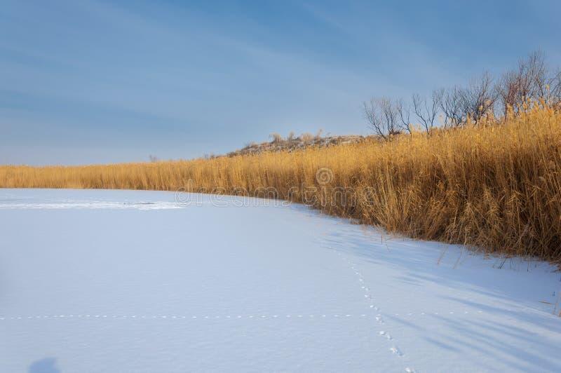 Κάλαμοι σε μια παγωμένη λίμνη, η στέπα ο ποταμός ή Καζακστάν Kap στοκ εικόνα