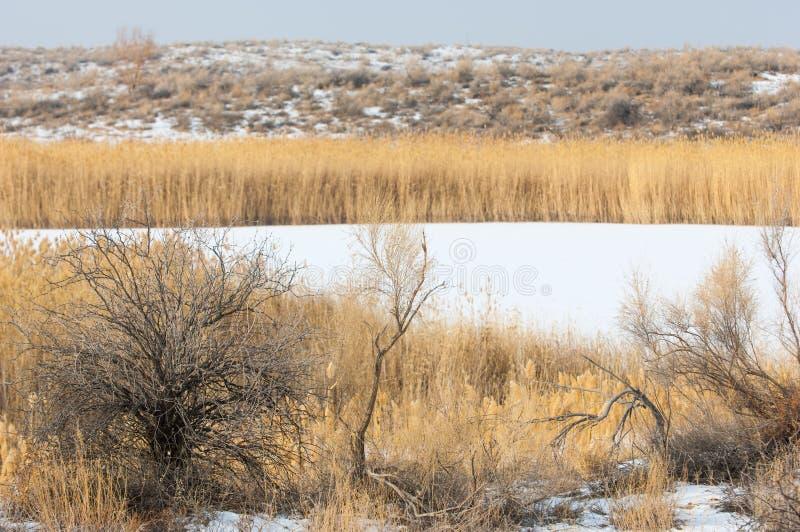 Κάλαμοι σε μια παγωμένη λίμνη, η στέπα ο ποταμός ή Καζακστάν Kap στοκ φωτογραφία