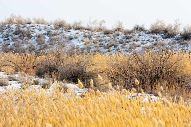 Κάλαμοι σε μια παγωμένη λίμνη, η στέπα ο ποταμός ή Καζακστάν Kap στοκ φωτογραφίες με δικαίωμα ελεύθερης χρήσης