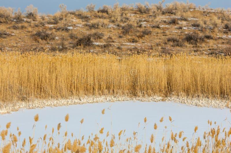 Κάλαμοι σε μια παγωμένη λίμνη, η στέπα ο ποταμός ή Καζακστάν Kap στοκ εικόνες