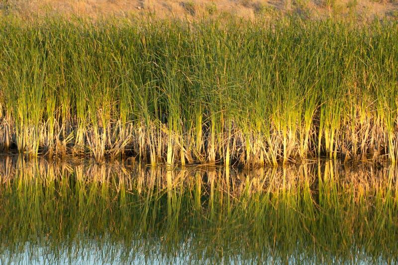 Κάλαμοι στη λίμνη με την αντανάκλαση στοκ φωτογραφίες