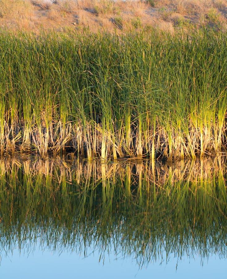 Κάλαμοι στη λίμνη με την αντανάκλαση στοκ φωτογραφία με δικαίωμα ελεύθερης χρήσης