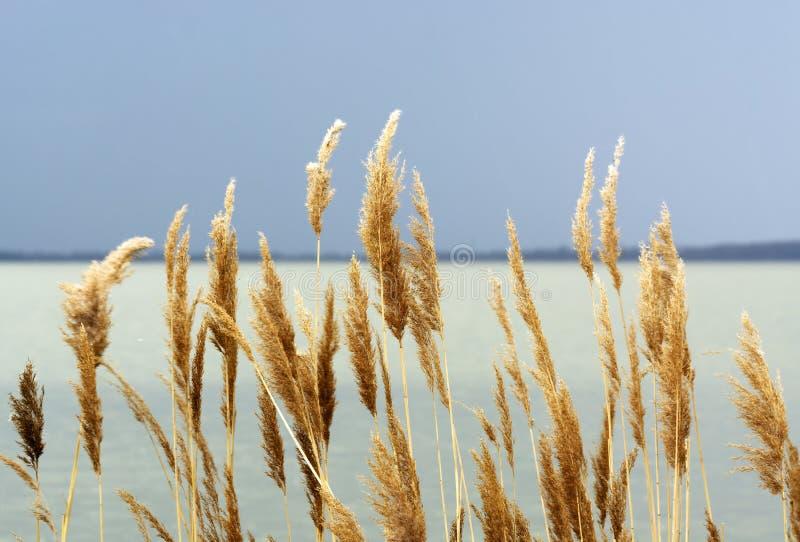 Κάλαμοι στη λίμνη Balaton, Ουγγαρία στοκ φωτογραφία με δικαίωμα ελεύθερης χρήσης
