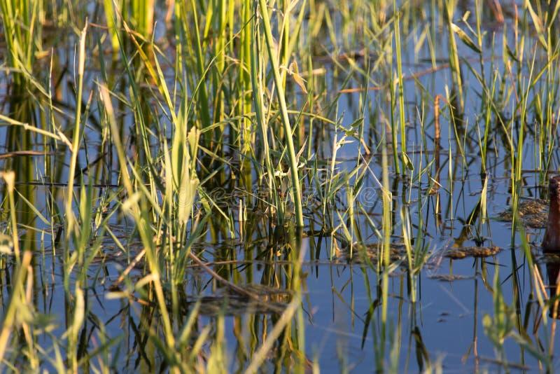 Κάλαμοι στο νερό στη λίμνη στη φύση στοκ φωτογραφία